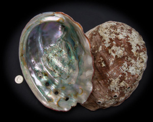 Red Abalone Whole Shell Rough