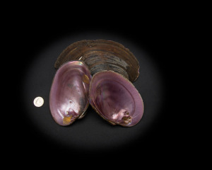Pink Mussel Whole Shell Rough First Quality