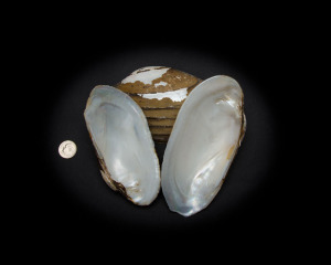 White Clam Whole Shell Rough