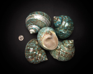 Blue Snail Whole Shell Rough