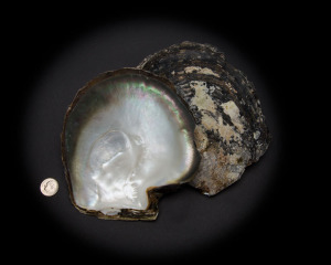 Black Mother of Pearl Whole Shell Rough