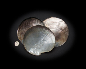 Black Mother of Pearl Whole Shell Polished
