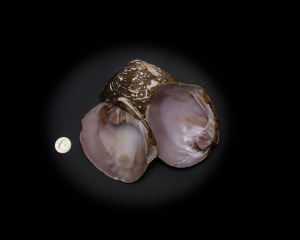 Purple Pimple Clam Whole Shell Rough