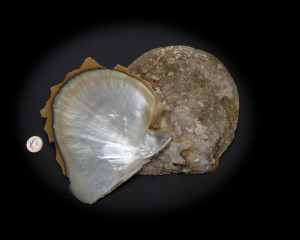 White Mother of Pearl Whole Shell Rough - Small