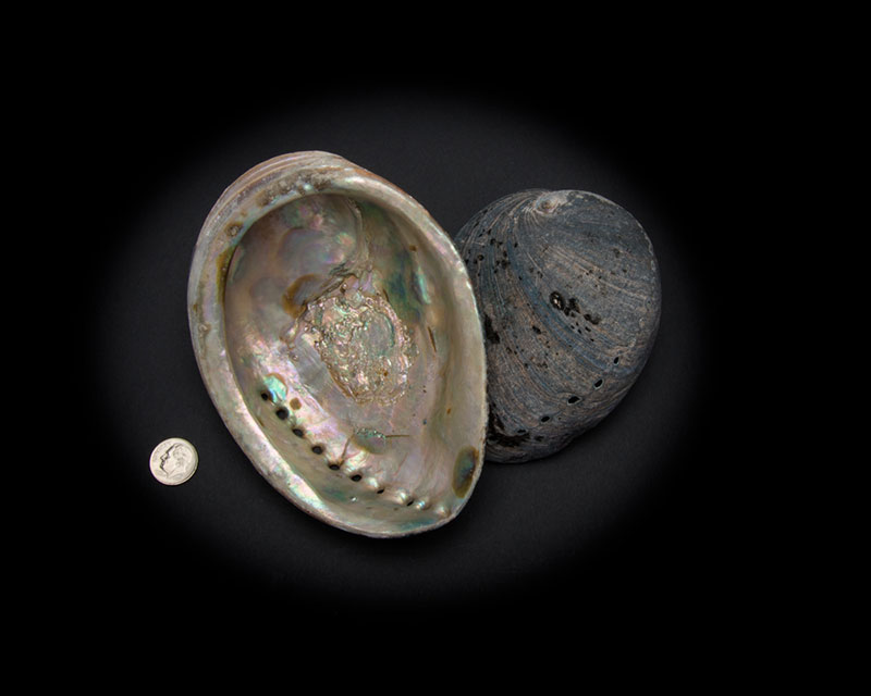 Black Abalone Whole Shell Rough