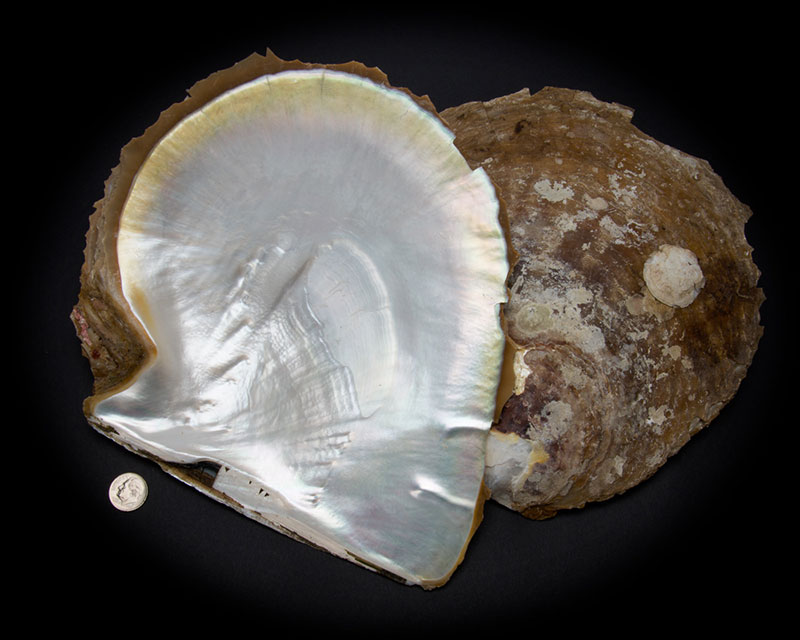 White Mother of Pearl Whole Shell Rough - Large